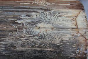 brett-mit-holzwürmern