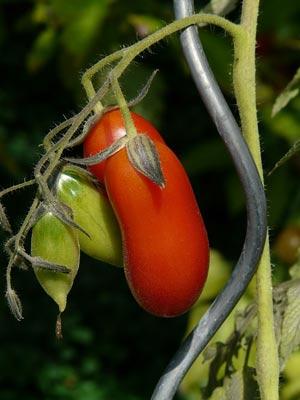 tomaten rankhilfe spirale oder klassischer stab. Black Bedroom Furniture Sets. Home Design Ideas